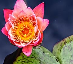 Pond Flower (pmorris73) Tags: arboretum pennstateuniversity statecollege pennsylvania century 2cl2918 3cl3018 4cl3118 5ca0419 6ca1119 7ca3019 8cc0219 9cc0919