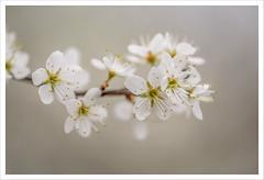 Voglia di primavera 8 (Outlaw Pete 65) Tags: macro closeup fiori flowers natura nature colori colous bianco white primavera spring nikond750 sigma105mm brescia lombardia italia