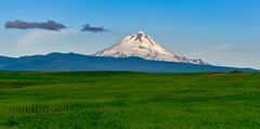 Mount Hood, Oregon (maytag97) Tags: maytag97 nikon d750 hood mount oregon white mountain view nature mt sky ski travel landscape scenic northwest blue beauty usa season outdoors tourism snow recreation majestic pacific cascade beautiful slopes spring outdoor clean mountainside field meadow grass