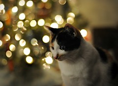 ~Kali in bokeh wonderland...~ (nushuz) Tags: kali cat calico extremechristmastreelightboeh sad loveschrisstmasandthetree sleptunderinforweeks didntmissathing cute livingroomlooksempty bokeh