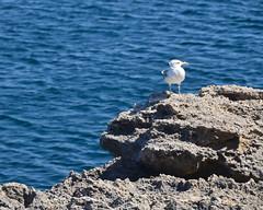 19. Gaviota en Menorca (Diario de un Mentiroso) Tags: menorca
