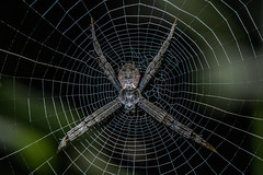 Signature Spider (chandra.nitin) Tags: animal deerpark insect macro nature outdoor spider urban web wildlife newdelhi delhi india