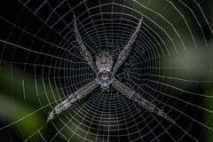 Signature Spider (chandra.nitin) Tags: animal deerpark insect macro nature outdoor spider urban web wildlife newdelhi delhi india