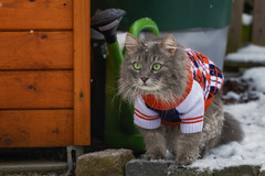 Oh my gosh, a neighbour in his garden ! (FocusPocus Photography) Tags: fynn fynnegan katze kater cat chat gato tier animal pullover jumper sweater schnee snow haustier pet kalt cold winter