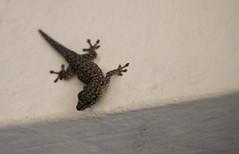 Lygodactylus gutturalis (Chevron-throated Dwarf Gecko) (jd.willson) Tags: jd willson jdwillson nature wildlife herps herping fieldherping reptile lizard africa tanzania gombe national park lygodactylus gutturalis chevronthroated dwarf gecko