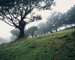 Tree in fog (JaZ99wro) Tags: exif4film fog mist green provia100f e6 forest tetenal3bathkit f0366 plustekopticfilm120 pentax67ii madeira tree film analog
