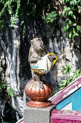 Oh no junk food! (Cédric Nitseg) Tags: malaisie travelling kualalumpur singe nikon malasia travel monkey animal batu grotte cave d7000 backpacker voyage greelow