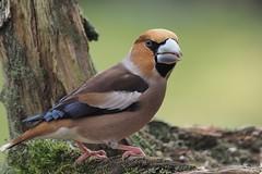 Hawfinch (coccothraustes coccothraustes) (alfred.reinartz) Tags: coccothraustes vogel singvogel hawfinch kernbeisser olympus omd em1