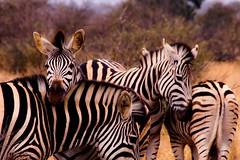 Barcoded (Nugohs1) Tags: africa southafrica afriquedusud kruger sanpark bush animal wild zebra zebre
