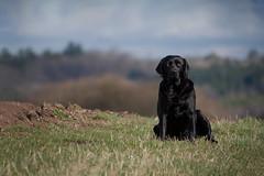 can I come (uwe.kast) Tags: labrador labradorretriever labradorredriver hund haustier dog bichou wald wiese black panasonic lumix g9 100300
