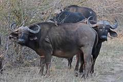 AFRIBUFFandREDBILOXP 1026 (bryanjsmith62) Tags: africanbuffalo africansavannabuffalo synceruscaffer buffaloandantelope bovidae mammalsofsouthafrica redbilledoxpecker buphaguserythrorhynchus oxpeckers buphagidae birdsofsouthafrica ©bryanjsmith