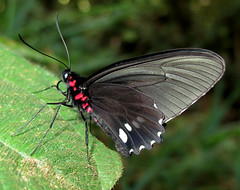 Parides erithalion (Over 4 million views!) Tags: butterfly papilionidae parideserithalion peru butterflies insect