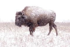 Bison: tough way to make a living (Peeb OK) Tags: buffalo bison nature animal landscape nikon tokina snow wind grass white wildlife