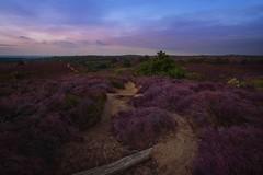 Dutch purple heather (l.cutolo) Tags: hills on1raw sonya7iii silkycould purple flickr blue netherlands dutchlandscape aperture ngc trakking longexposure lights calm tlp worldtrekker countryside hdr sony scape arnhem posbank sunrise path lucacutolo landscape purpleheather bluehours