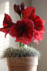 Amaryllis (Sarah E Springer) Tags: flickrfriday red amaryllis bloom flower light vertical lightandshadow flickrology