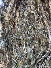 Melaleuca linariifolia - Snow-in-summer, Narrow-leaved Paperbark (Black Diamond Images) Tags: melaleuca melaleucalinariifolia myrtaceae snowinsummer narrowleavedpaperbark bark roots fibrousroots fibrousbark chapmanrestarea pacifichighway bulahdelah coolongolook nsw midnorthcoast trunk topitopi appleiphonex iphonex iphone iphonexbackcamera