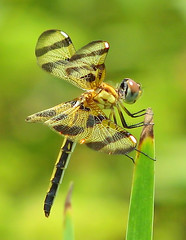 a golden Halloween pennant (Vicki's Nature) Tags: halloweenpennant female dragonfly gold golden brown spots biello georgia vickisnature canon s5 7872