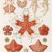 Asteridea illlustration, lithograph by Adolf Glitsch after sketched by Ernst Haeckel, shows starfishes in the phylum Echinodermata. Original from Library of Congress. Digitally enhanced by rawpixel.