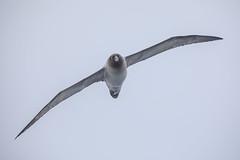 Light Mantled Albatross (Linda Martin Photography) Tags: abatross phoebetriapalpebrata southernocean southatlanticocean bird diomedeidae lightmantledalbatross coth coth5 ngc npc