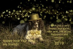 Happy New Year 2019 (Flemming Andersen) Tags: happynewyear 52weeksfordogs dog zigzag golden hat 2019