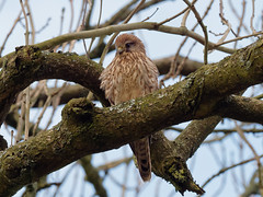 Kestrel (martin_swatton) Tags: kestrel bird raptor hunter olympus omd em1 mkii mzuiko 300 f4 is pro oldwinchesterhill