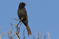 Fork-tailed Drongo, Dicrurus adsimilis, at Marakele National Park, Limpopo, South Africa