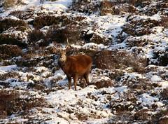 IMG_5287 (monika.carrie) Tags: reddeer monikacarrie wildlife scotland aberdeenshire royaldeeside