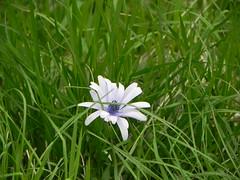 DSCN0076 (Gianluigi Roda / Photographer) Tags: springtime april 2013 wildflowers anemonehortensis