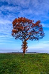 Orange and blue (cstevens2) Tags: antwerpenprov autumn belgique belgium belgië europe fall fallcolours flanders flandre oudturnhout vlaanderen blauwelucht bluesky bomen herfst herfstkleuren najaar trees