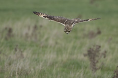 Incoming! (Ade Ludlam) Tags: short eared owl hunting diving raptor bird prey somerset wildlife nature nikon d7200 sigma sigma150600
