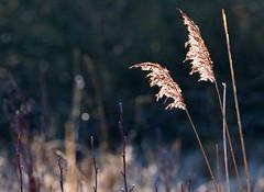 reeds in the sunlight, Askham Bog, York (robin denton) Tags: askhambog yorkshirewildlifetrust wildlifetrust naturereserve ywt bog nature york northyorkshire yorkshire wildplant reeds contrejour