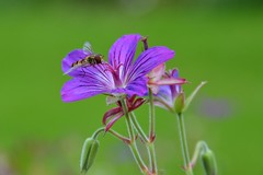 Hoverfly on Cranesbill (Rufusrich) Tags: johnson'sblue geranium hardygeranium cranesbill hoverfly