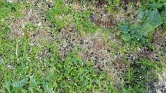 Tiny black mussels (Xenostrobus sp.) (wildsingapore) Tags: pasirris carparka xenostrobus mytilidae mollusca bivalvia gastropoda muricidae island singapore marine coastal intertidal seashore marinelife nature wildlife underwater wildsingapore shore