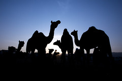 Silhouette (Harshal Orawala) Tags: camel india pushkarfair2018 sky sun sunrise fair harshalorawala