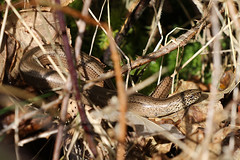 Slow worm (Anguis fragilis] (sinky 911) Tags: slowworm reptile nature wildlife
