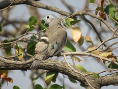 Emerald-spotted Wood-Dove / Green-spotted  Dove / Groenvlekduifie (Pixi2011) Tags: birds doves krugernationalpark southafrica africa nature