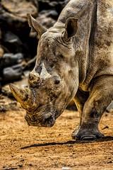 Rhino (waynedavey67) Tags: canon 7dmkii 600mmlf4 tripid rhino african whiterhion endangered hunted mammal animal colchesterzoo zoo sufaripark portrait headshot