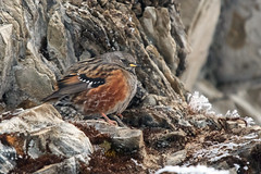 Alpine Accentor (Tim Melling) Tags: prunella collaris alpine accentor sichuan china timmelling