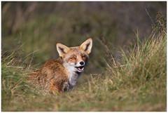 Fox  -  Vos   (Fulpes fulpes) (Martha de Jong-Lantink) Tags: 2011 awd amsterdamsewaterleidingduinen gewonevos rodevos vos vossen vulpesvulpes