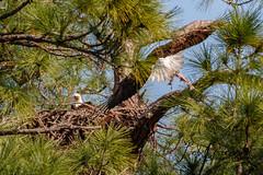 Feeding Eagles (Les Greenwood Photography) Tags: eagle nature nest wildlife woods babies