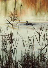 Poètica de l'estany 1 (jocsdellum) Tags: estanydesils ànec pato poetic poetry aigua water reflexes duck ocell pájaro bird tardes hivern winter capvespre sunset atardecer