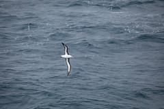 IMG_0215 (y.awanohara) Tags: humpbacks humpbackwhales whales whale southgeorgia scotiasea january2019 wildlife cetacean