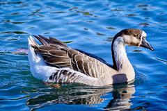 Oie (thierrybalint) Tags: goose oie palmipède palmiped water bird parc park borély marseille nikon nikoniste balint thierrybalint