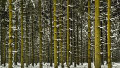 Winter Forest 02 (L I C H T B I L D E R) Tags: winter tree trees stamm trunk belgien baraquemichel hohesvenn highfens eupen malmedy hautesfagnes wood forest snow belgium wald holz baum schnee pfad himmel ngc