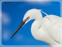 Ερωδιός  Λευκοτσικνιάς (Spiros Tsoukias) Tags: hellas macedonia thessaloniki greece axiosdelta nationalpark flamingo ελλάδα μακεδονία θεσσαλονίκη καλοχώρι γαλλικόσ αξιόσ λουδίασ αλιάκμονασ εθνικόπάρκο δέλτααξιού υδρόβιαπτηνά φλαμίνγκο φοινικόπτερα ερωδιοί αργυροπελεκάνοι αργυροτσικνιάδεσ λευκοτσικνιάδεσ βαρβάρεσ γεράκια πάπιεσ φαλαρίδεσ κύκνοσ κύκνοι πελεκάνοσ κορμοράνοσ στρειδοφαγοσ κοκκινοσκέλησ σταχτοτσικνιάσ ποταμογλάρονα χουλιαρομύτα γλάροσ αβοκέτα καλαμοκανάσ λίμνεσ φύση ποτάμια θάλασσα βουνά πεδιάδεσ ηλιοβασίλεμα ανατολήηλίου πουλιά ζώα lakes nature rivers sea mountains plains sunset sunrise birds animals bird sky
