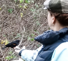 Cath feeding Blackbird (male) (glenbodie) Tags: bodie catherinehurley glen glenbodie north40 reifel