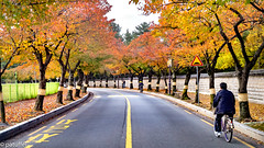 Road lined with trees during autumn (patuffel) Tags: tumuli park road street foliage 2018 autumn tree aveneue korea south gyeongju m10 28mm leica avenue boulevard