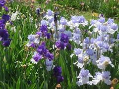 Irises 4 (D. S. Hałas) Tags: halas hałas canada ontario haltonregion wentworthcounty burlington aldershot royalbotanicalgardens botanicalgarden lakinggarden magnoliophyta liliopsida asparagales iridaceae iris flower