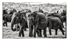 Sri Lanka (dik34) Tags: elephants srilanka nature blackandwhite travel