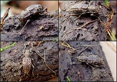 Flat-faced Longhorn Beetle Plectrura spinicauda (Bugldy99) Tags: cerambycidae animal arthropod arthropoda insect insecta beetle coleoptera collage longhorned flatfaced lamiinae